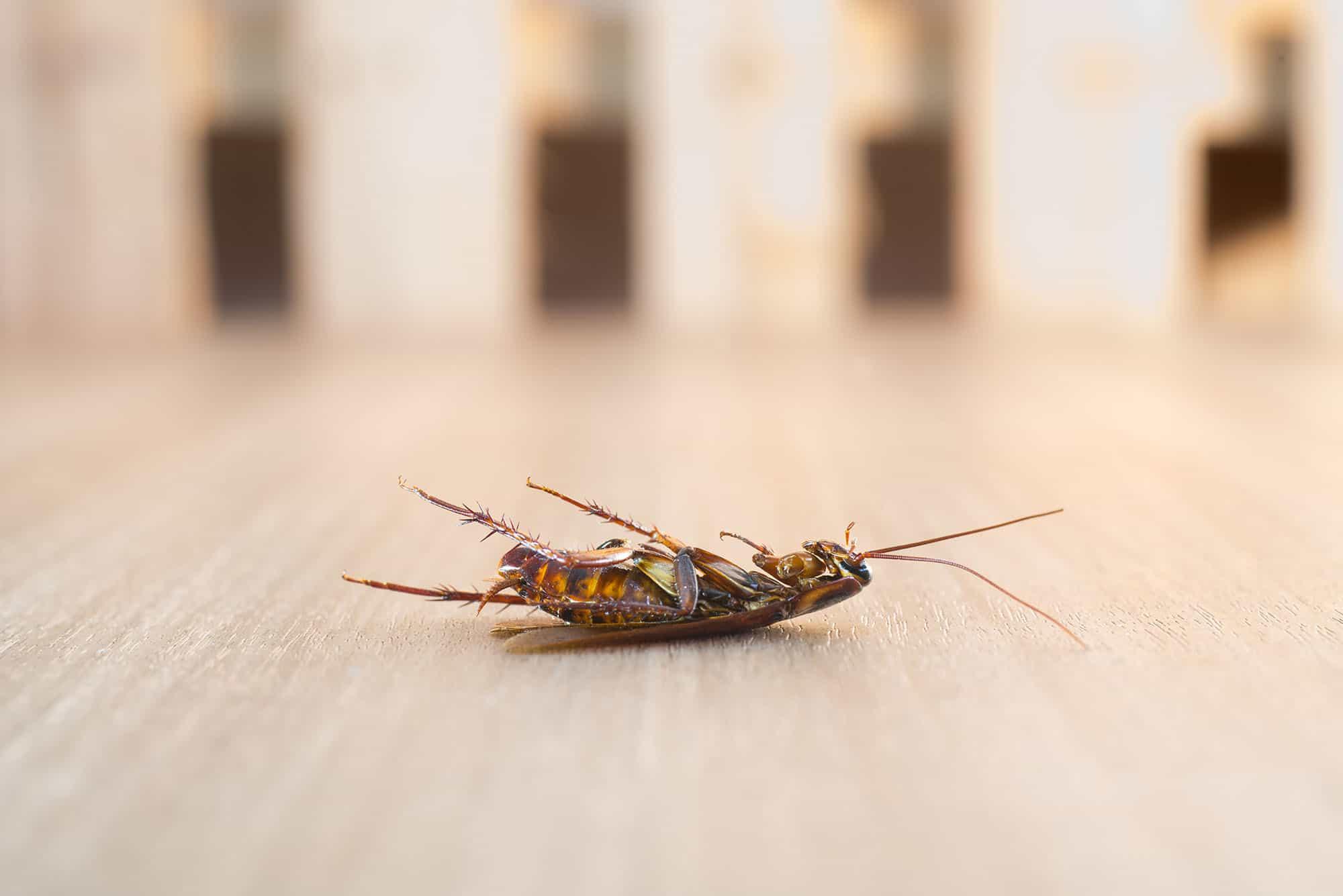 Disinfestazione blatte scarafaggi Roma